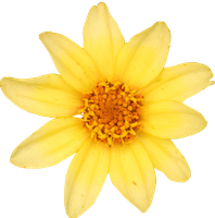 Yellow Small Zinnia by Thy-Darkest-Hour