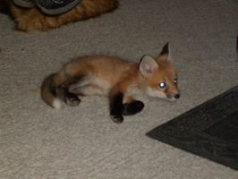 new baby red fox 2 by Anna-aurion