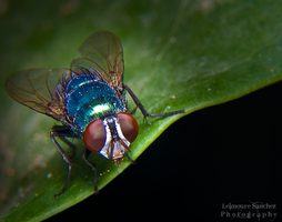 Housefly on the house 8 by lee-sutil