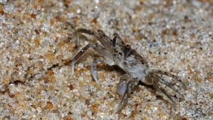 Ghost Crab by fractalfiend