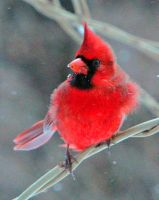 Male cardinal by clippercarrillo