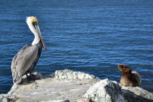 Pelican and Sea Lion Pup by Kiloueka