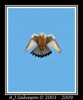 Kestrel Hovering II by andy-j-s