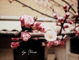 Blossoms by stoxic