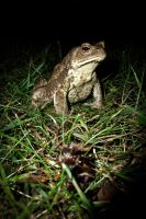 Common toad on grass by RLPhotographs