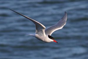 Common Tern by Cantabrigian