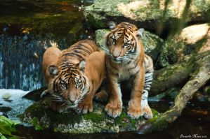 Tigers on a Rock by DanielleMiner