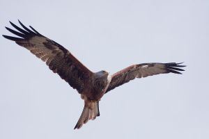Red kite Milvus milvus by GerbenT