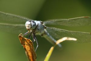 Dragonfly 4 by evilke