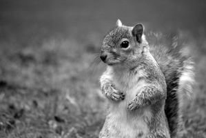 Squirrel portrait by KK-photo