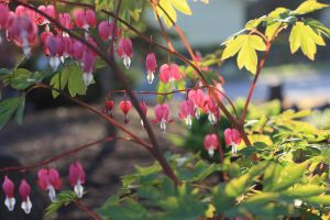 bleeding heart's by Julie-Photo