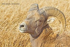 BigHorn Male by MikeDaBadger