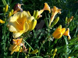 Stella D'oro Day Lily 5 by racheltorres921