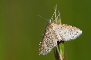 Moth in dew by SzymonMic