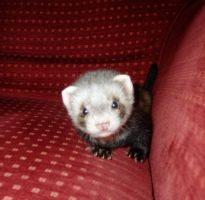 baby ferret by mysticpagan