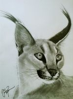 Caracal by ByOmer