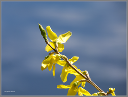 Forsythia is yellow in Spring by Mogrianne