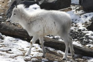 Dall Sheep 1 by CastleGraphics