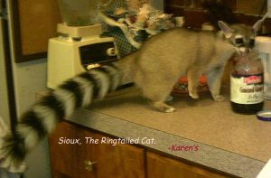 Sioux the Ringtailed cat by Queen-Mum