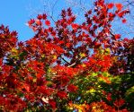 Japanese Maple by Emerald-Depths