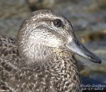Green Winged Teal Portrait by SlateGray