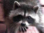 Racoons Can Be Adorable by Photos-By-Michelle