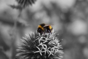 Bumblebee by tcm-photography