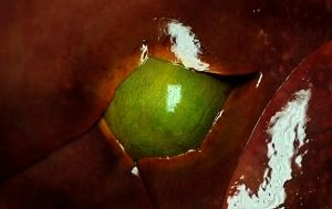 Coyote Gallbladder 2 by Meddling-With-Nature