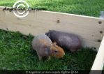 Guinea Pigs by Angelic-Fighter