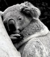 KOALA SNUGGLED UP by LESHA