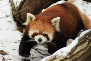 Red Panda Steps by timseydell