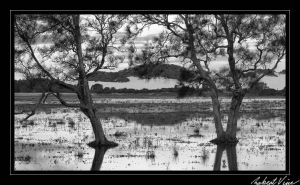 Flooded Trees BW by robertvine