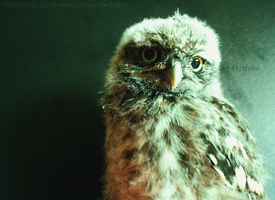 Little owl by ZakraArt