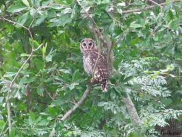 Barred Owl by BamaBelle2012