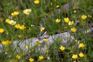 Butterfly and Buttercups by ByronGiant