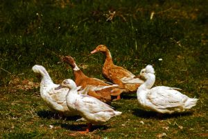 Duck by Mackingster