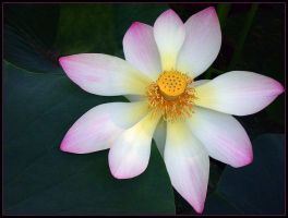 SACRED LOTUS 12 by THOM-B-FOTO