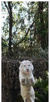 Flying White Tiger by TVD-Photography