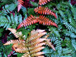 Autumn Ferns by davincipoppalag