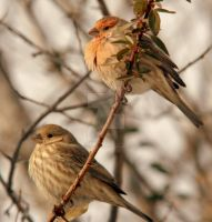 Male and Female Finches Finch by houstonryan