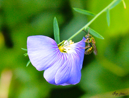 Bee on Blue Flower by gregchapin