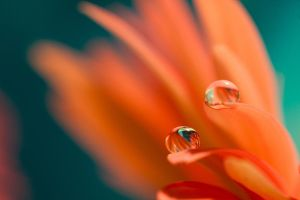 drops on petals by animlogic
