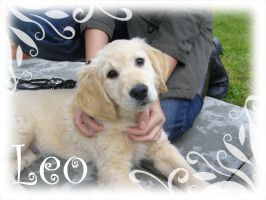 Leo Golden Retriever by Thyria