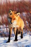 This Fox by Thomas-Koidhis