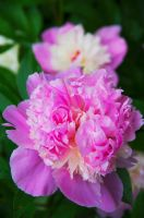 Peonies candy-1 by Grace-love-kindness