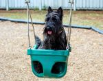 Scottish Terrier in a Swing by winterface