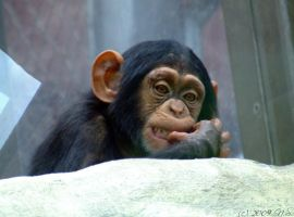 Chimp by ninas-photography