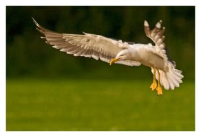 Black Backed Gull by Neutron2K