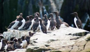 Guillemots gathering by svendo