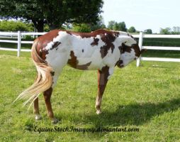 Paint Horse 30 by EquineStockImagery